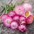 Xerochrysum bracteatum 'Silvery Rose' (syn. Helichrysum)