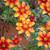 Bidens ferulfolia 'Hot & Spicy'