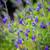Salvia greggii 'Mirage Blue'