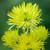 Chrysanthemum 'Tula Green'