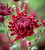 Autumn Stars Chrysanthemum Collection
