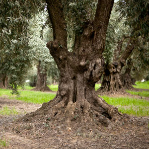 Beautiful olive tree in an orchard