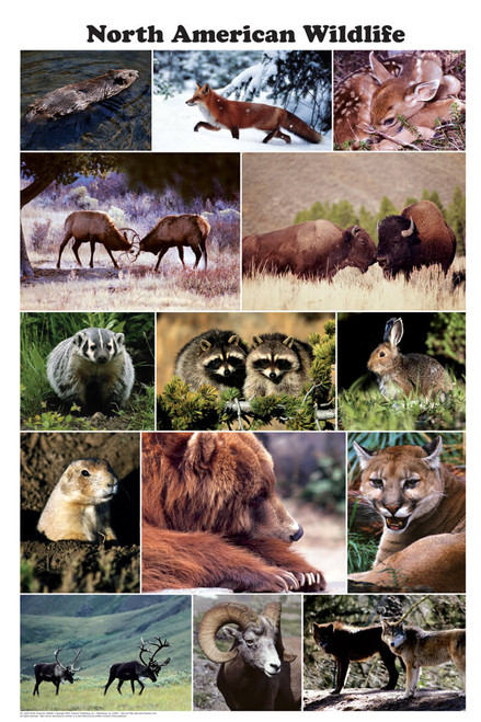 North American Wildlife Photographic Poster 24x36