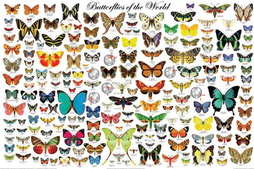 The Butterflies of the World Educational Science Classroom Chart Print Poster 24x36