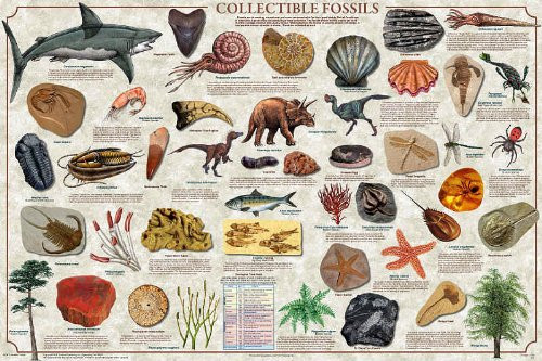 Collectible Fossils Poster (36 x 24)