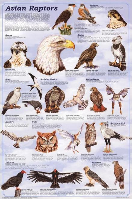 """Avian Raptors Educational Poster 24"""" x 36"""""""