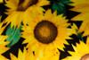Sunflower Luxe Ear