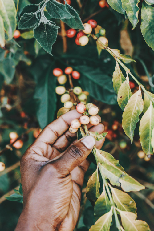 """March Coffee of the Month""       DR Congo FTO"