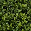 23 x 11 12 Inch Boxwood Hedge New Style Leaf Tutone Green Closeup