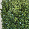 Close up of Boxwood LeafLimited UV Protection