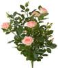"""P-17004328"""" Pink Rose Bush"""