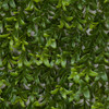 Close Up of Boxwood Leaf in Tutone Green