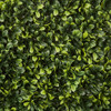Close Up of Tutone Green Boxwood Leaves