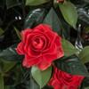Close Up of Red Gardenia