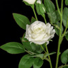Close up of  White Rose flower