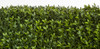 Limited UV Boxwood Hedge