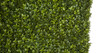 Close Up of Boxwood Hedge