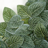 Closeup of Fittonia Leaf Mat