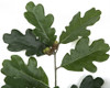 Close Up of Oak Leaves