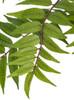 Close Up of Mahogany Leaf