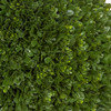 Close Up of Boxwood Foliage