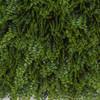 Close Up of Green Button Fern