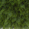 Close Up of Green Button Fern