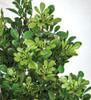 Close Up of Boxwood Foliage