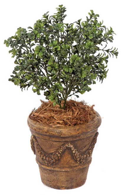 20 Inch Boxwood Bush 