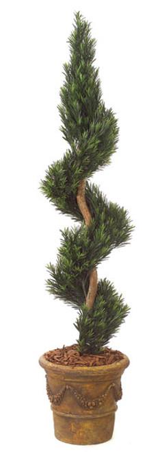 6 Foot Podocarpus Spiral Natural Trunk SprayDecorative Pot Sold Separately
