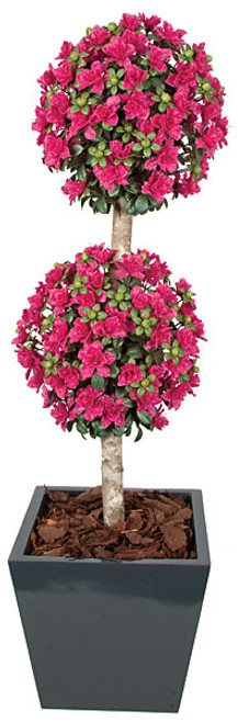 5' Azalea Double Ball Topiary on Natural Wood Trunk. Custom-Made. Beauty Color Pictured. Other Colors Available.