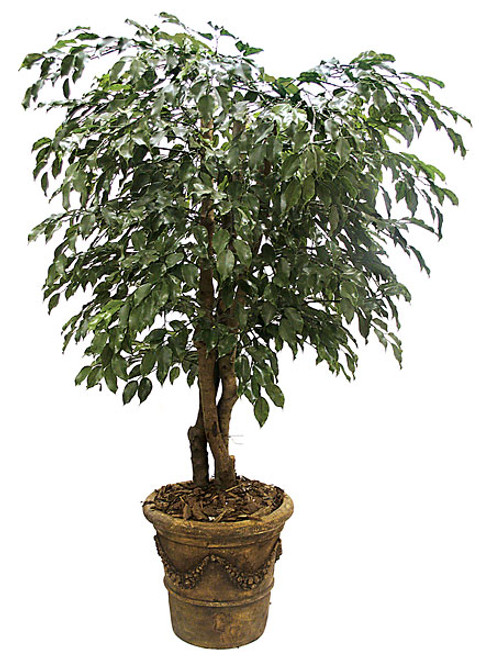 5 Foot Ficus Tree Natural Trunk
