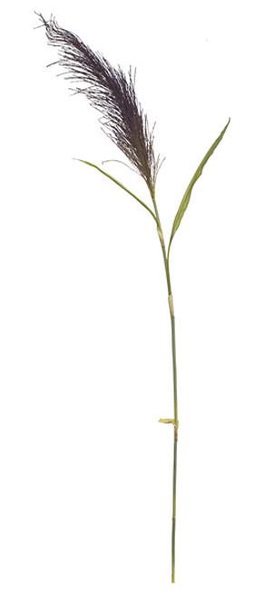 A-60533 - 7' Pampas Grass