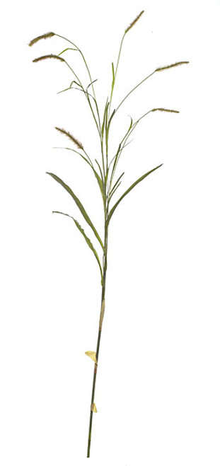 8' Foxtail Spray with Leaves