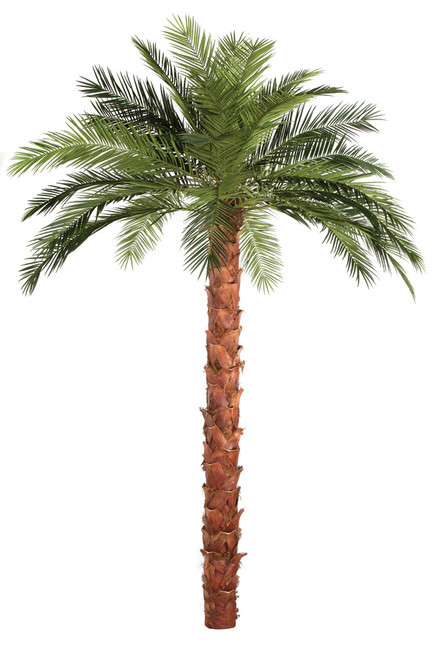 WR-150130 13 Ft. Overall Height Phoenix Palm Tree Straight Trunk