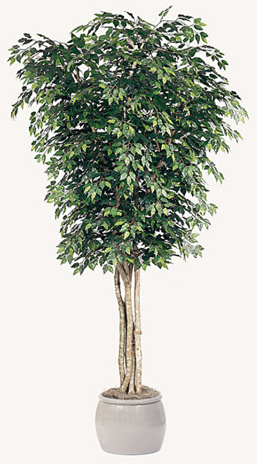 12' Ficus Tree - Regular or Fire Retardant