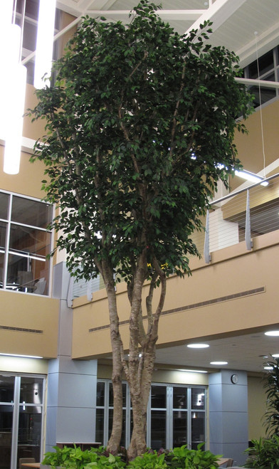 20' Tall Ficus Tree