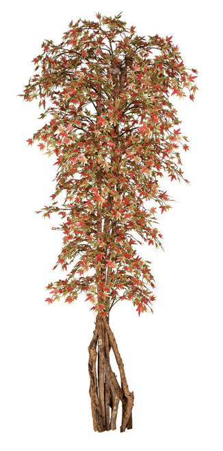 W-1501147' Japanese Maple TreeNatural Trunks