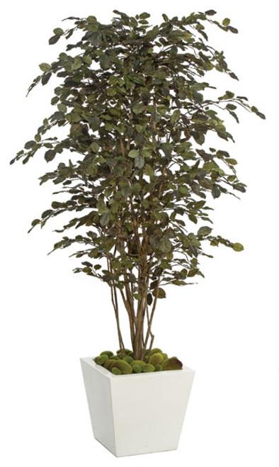 W-801506.5' Beech TreeDecorative Pot Sold Separately