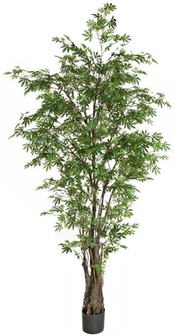 P-1315507' Japanese Maple TreeGreen