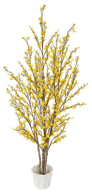5' Forsythia Tree