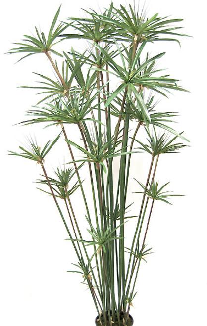 P-02916' Papyrus Tree