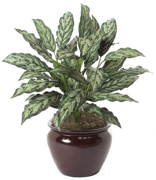 "P-160030"" Aglaonema PlantDecorative Pot Sold Separately"