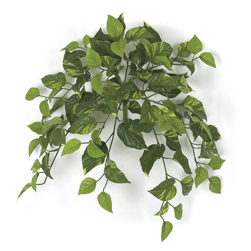 "P-175000 24"" Variegated Pothos Bush"