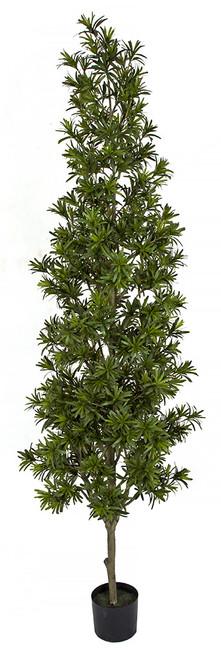 A-181680 7' Podocarpus Tree