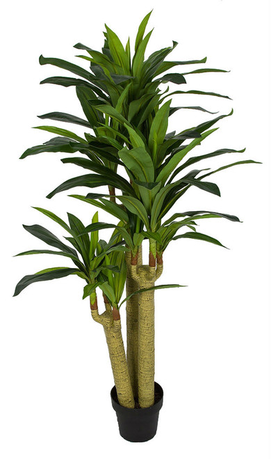 P-184160 5' Dracaena Corn Plant x 3 Weighted Base