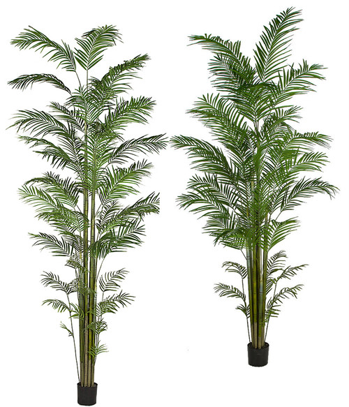 10' and 12' Tall Areca Palm Trees