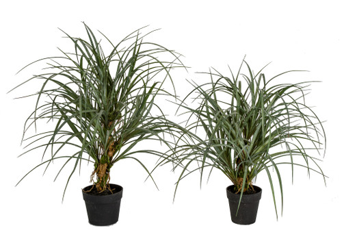 """25"""" or 30"""" Potted Sand Ryegrass Plants"""