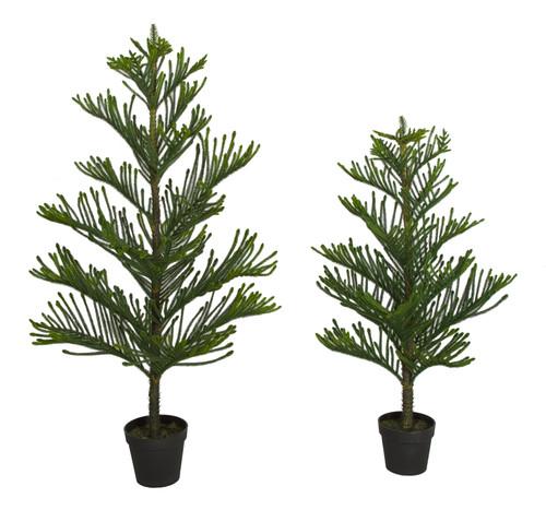 4' or 5' Norfolk Pine Trees