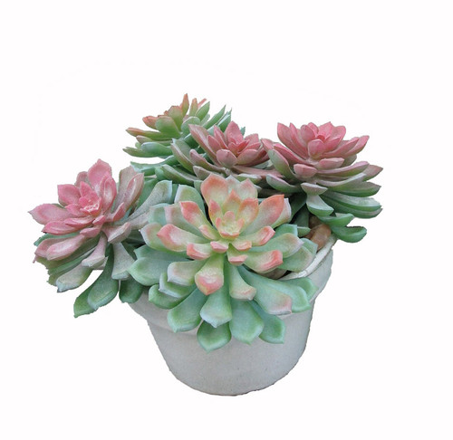"6.5"" Potted Mixed Succulents and White Pot"